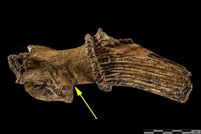 Abb. 3: B 6n PA 17, Fundstelle IX. Befund B-750, Fund-Nummer. 1a. Dieses untere Geweihstangenfragment ist noch mit dem Stirnbein verbunden, es stammt demnach nicht von einer Abwurfstange, sondern von einem getöteten oder tot aufgefundenen Hirsch. Am Rosenstock sind deutliche Ritzspuren eines Werkzeugs erkennbar (gelber Pfeil). Weitere Hiebspuren an der Augsprosse zeigen, dass diese abgeschlagen wurde. © Landesamt für Denkmalpflege und Archäologie Sachsen-Anhalt, Klaus Bentele.