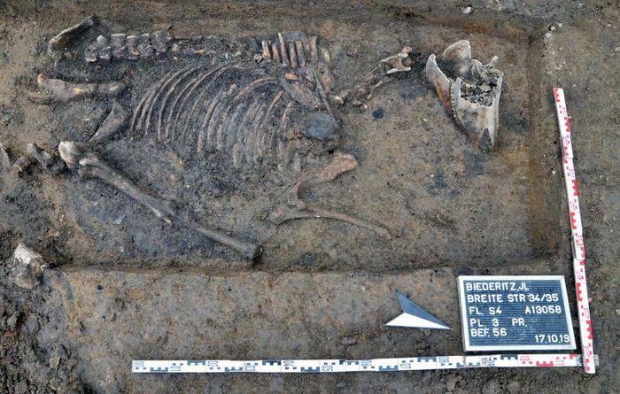 Abb. 6: Pferdeskelett über dem Grabenkopf des äußeren kleinen Grabens. Anbei fanden sich Scherben grober Keramik © Landesamt für Denkmalpflege und Archäologie Sachsen-Anhalt, Claudia Schaller.