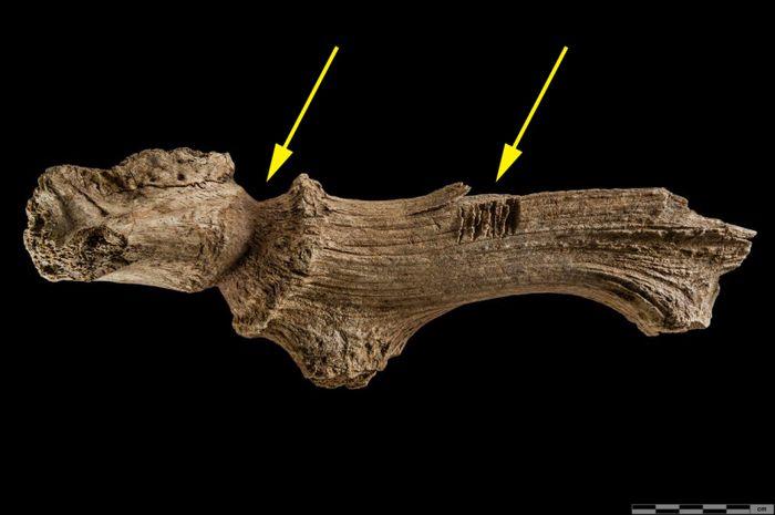 Abb. 4: B 6n PA 17, Fundstelle IX. Befund B-744, Fund-Nummerr. 7c. Die Geweihstange stammt aus einer spätbronzezeitlichen Grube. Es handelt sich um die rechte Geweihstange mit dem kräftigen Stirnbeinfragment. Auch hier sind Bearbeitungsspuren zu sehen (gelbe Pfeile). Dadurch wirkt der Rosenstock wie ein vom Biber fast durchgenagter Stamm. © Landesamt für Denkmalpflege und Archäologie Sachsen-Anhalt, Klaus Bentele.