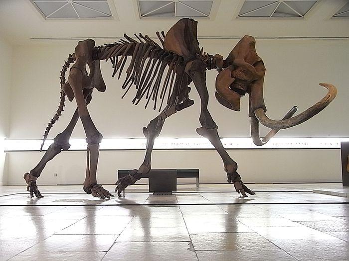 Abb. 3: Die neuaufgestellte Skelettrekonstruktion des erwachsenen Mammuts in der Dauerausstellung. © Landesamt für Denkmalpflege und Archäologie Sachsen-Anhalt.