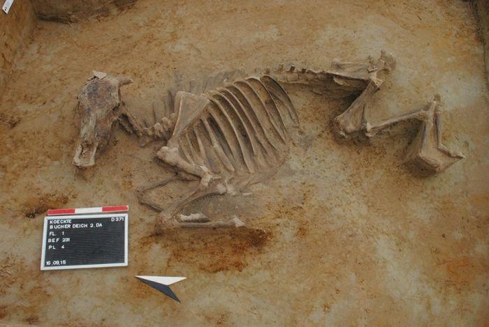 Abb. 2: Rinderbestattung Befund 231. Das Tier wurde mit angehockten Extremitäten in einer recht kleinen Grube deponiert. © Landesamt für Denkmalpflege und Archäologie Sachsen-Anhalt, Dorothee Menke.