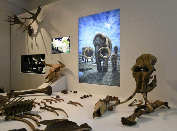 Abb. 1: Skelettelemente der beiden Mammute aus Pfännerhall in der Sonderausstellung »Klimagewalten – Treibende Kraft der Evolution«. © Landesamt für Denkmalpflege und Archäologie Sachsen-Anhalt, Andrea Hörentrup.