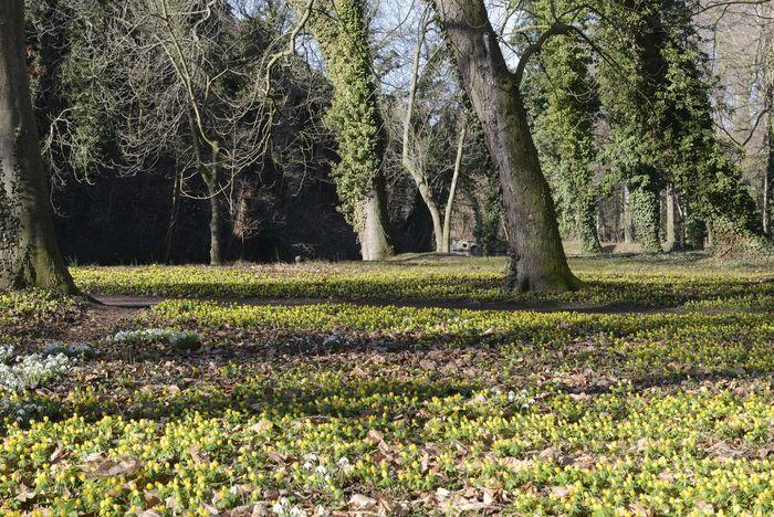 Abb. 2: Winterling-Blüte im Schlosspark Ostrau. © Landesamt für Denkmalpflege und Archäologie Sachsen-Anhalt, Gunnar Preuß.